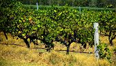Grape Vines Ready For Harvest