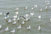 stock photo of flock seagulls  - Flocks of Seagull on water at Bangpoo of Thailand - JPG