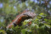 Old Iguana On Tree