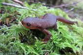 Rough-skinned Newt up Close