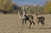 stock photo of cleaving  - Deer in a autumn in sunny day - JPG