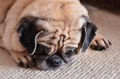 stock photo of pug  - Portrait of sad purebred pug dog.