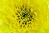 Chrysanthemum