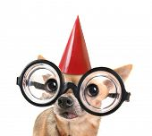 a cute chihuahua with giant glasses on