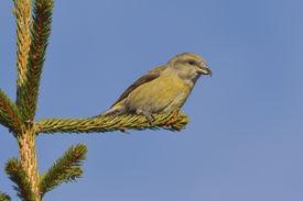 stock photo of crossbill  - Crossbill in natural habitat  - JPG