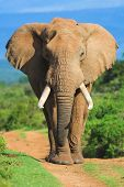 pic of gentle giant  - Male African Elephant portrait - JPG