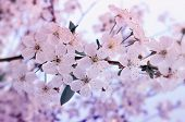 Flowers Of The Cherry Blossoms On A Spring Day