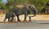 Elephants drinking from Camp Waterhole