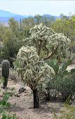 Teddy Bear or Cholla Cactus