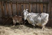goat (Capra hircus)