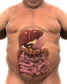 Digestive System of Overweight Body