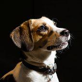 Dog beagle portrait