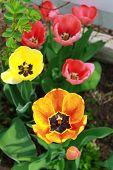 Variety of Tulip