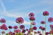 Giant Purple Allium Flowers