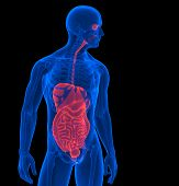 The Human Body. 3D Render Of A Human Internal Organs. Contains Clipping Path