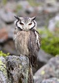 Southern White-faced Scops Owl