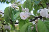 Beautiful Blooming Quince Bush In The Garden
