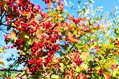 Ripe Red Berries Of Viburnum On Branches On Blue Sky