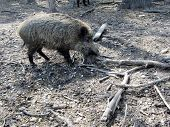 Wild Boar From Nearby
