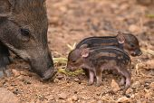foto of wild hog  - this is baby wild boar with their mum - JPG