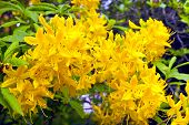 Yellow azalea flowers.
