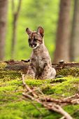 picture of mountain lion  - Puma concolor called mountain lion in forest  - JPG