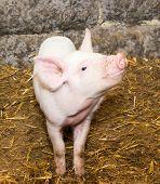 Piglet Pig