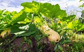 Large Yellow Zucchini With Green Leaves Growing In The Garden Of Farmer