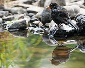 cute little blackbird reflection pond