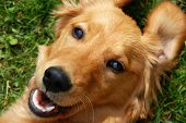 Golden Retriever Smiling