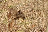 picture of cade  - A whitetail buck in a field - JPG
