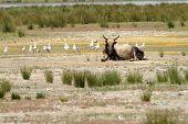 Big Bull In Danube Delta