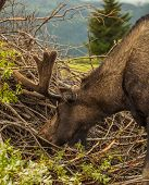 Bull Moose Eating