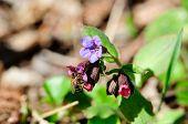 Pulmonaria.Pulmonaria flowers plants and bees.