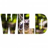 Word Wild Llama Portrait