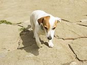 Jack Russell Dog Playing In The Garden
