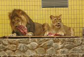 a pair of lions in the zoo are eating