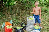 Boy During Harvesting Apples. In The Garden.