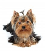 pic of yorkshire terrier  - Nice puppy of the Yorkshire Terrier over white - JPG