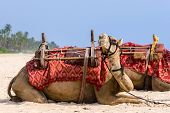Camels on the beach.