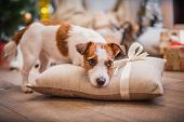 image of christmas dog  - Jack Russell dog at the Christmas tree 2015 - JPG