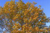 Oak Tree In Falll Color Transition