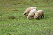 three sheeps grazing in Vermosh, Albania
