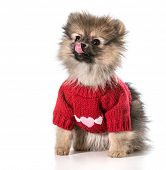 pomeranian wearing red sweater with hearts