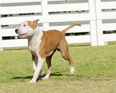 picture of american staffordshire terrier  - A small young beautiful white and red sable American Staffordshire Terrier walking on the grass while sticking its tongue out and looking playful and cheerful - JPG