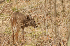 stock photo of cade  - A whitetail buck in a field - JPG