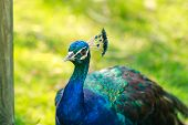 picture of peahen  - Portrait of beautiful peacock - JPG