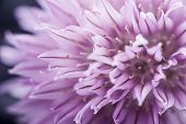 picture of chives  - Extreme macro closeup of purple chive flower - JPG