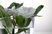 stock photo of jasmine  - jasmine jasmine flower in a glass with water - JPG