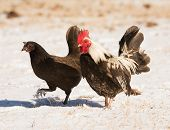 image of bantams  - Bantam rooster and hen walking in snow in bright sunshine - JPG